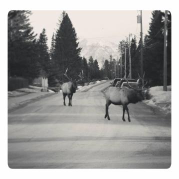 Elk walking the streets in Banff town, Banff National Park