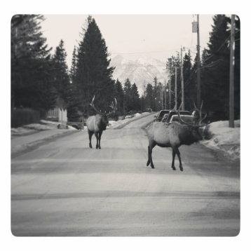 Elk walking the streets in Banff town, Banff National Park