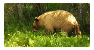 Black bear, Jasper