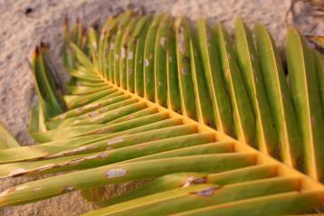 Palm Leaf, Rarotonga