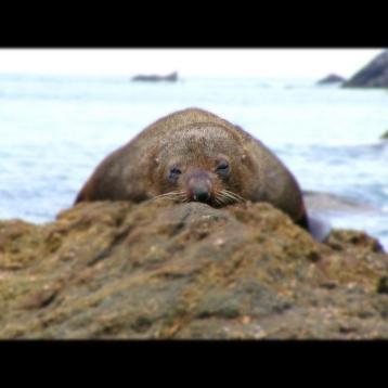 Seal, Westport, New Zealand