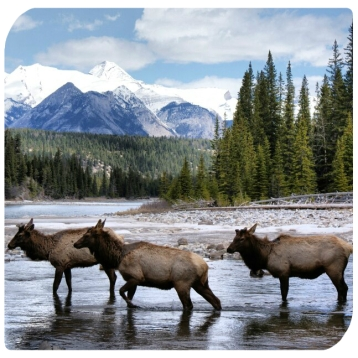 Deer on the Bow River, Banff National Park
