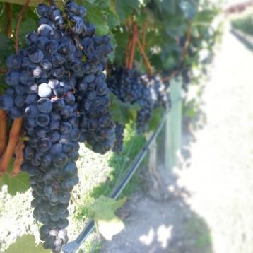 Grapes, Vineyard, Lake Okanagan, British Columbia, Canada