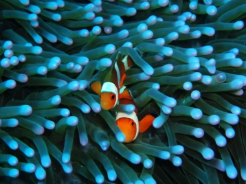 Clown Fish, Diving Gili Islands, Indonesia