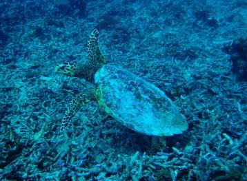 Turtle, Diving Gili Islands, Indonesia