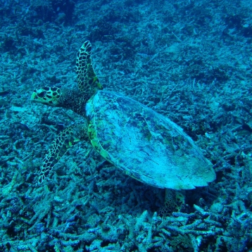 Turtle, Diving Gili Islands, Indonesia