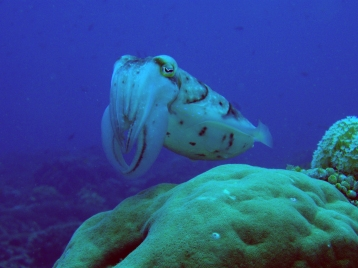Cuttlefish, Diving Gili Islands, Indonesia