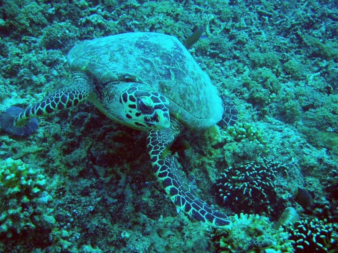 Turtle Gili Air