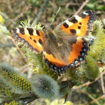 Butterfly, Dorset, UK