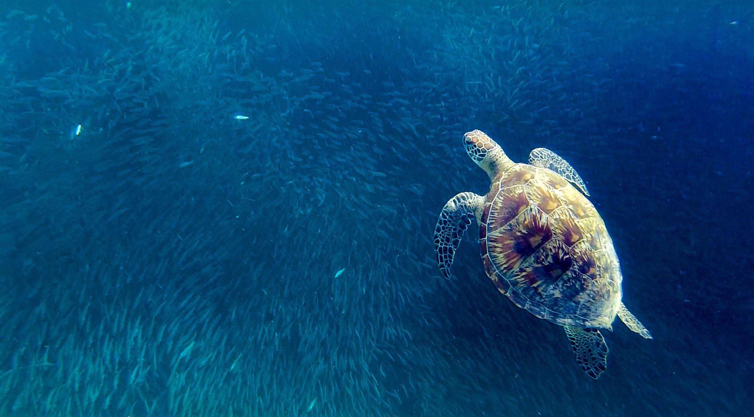 Moalboal Turtle